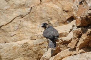 Falco pellegrino (ph Roberto Ragno)