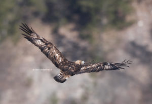 Aquila reale - ph Gianluca Damiani ©
